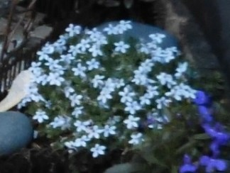 tiny blue flowers