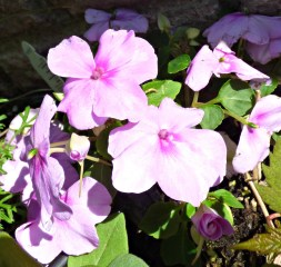 Impatiens close-up