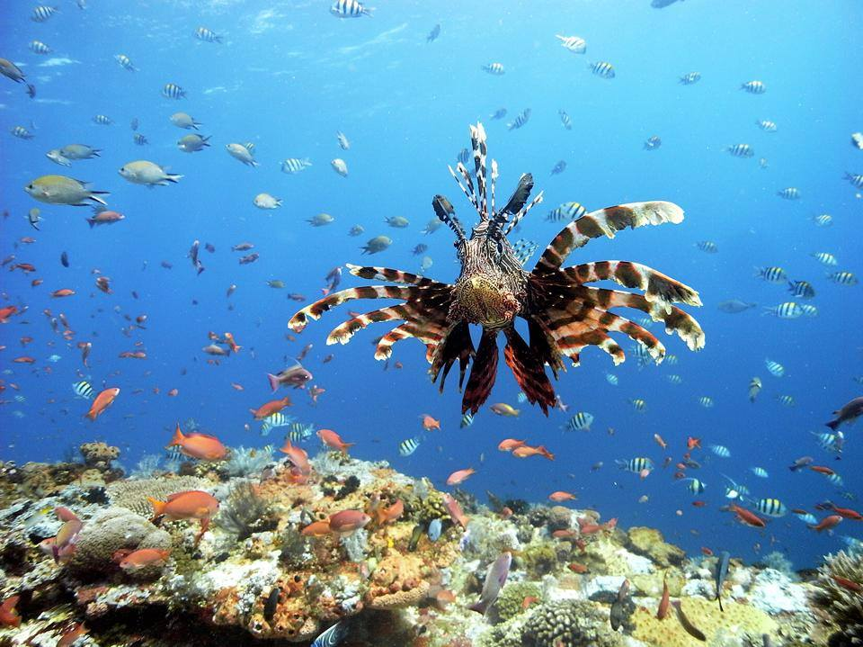 Scuba Diving in the Gili Islands with lion fish, sharks and trigger fish.