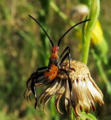 Leaf-footed Bug nymph. I read that if I want to be sure what species this is, I will have to catch it and raise it to adulthood.