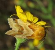 Unknown moth.