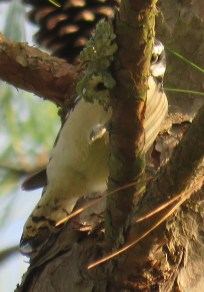 Downy Woodpecker.