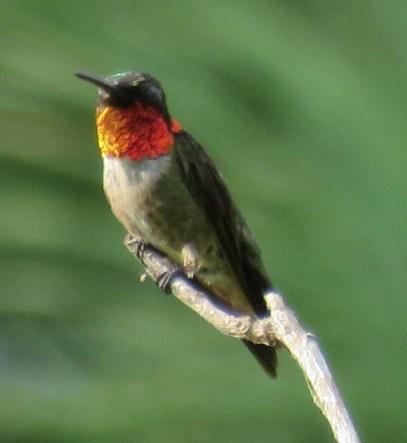 Ruby-throated Hummingbird male.