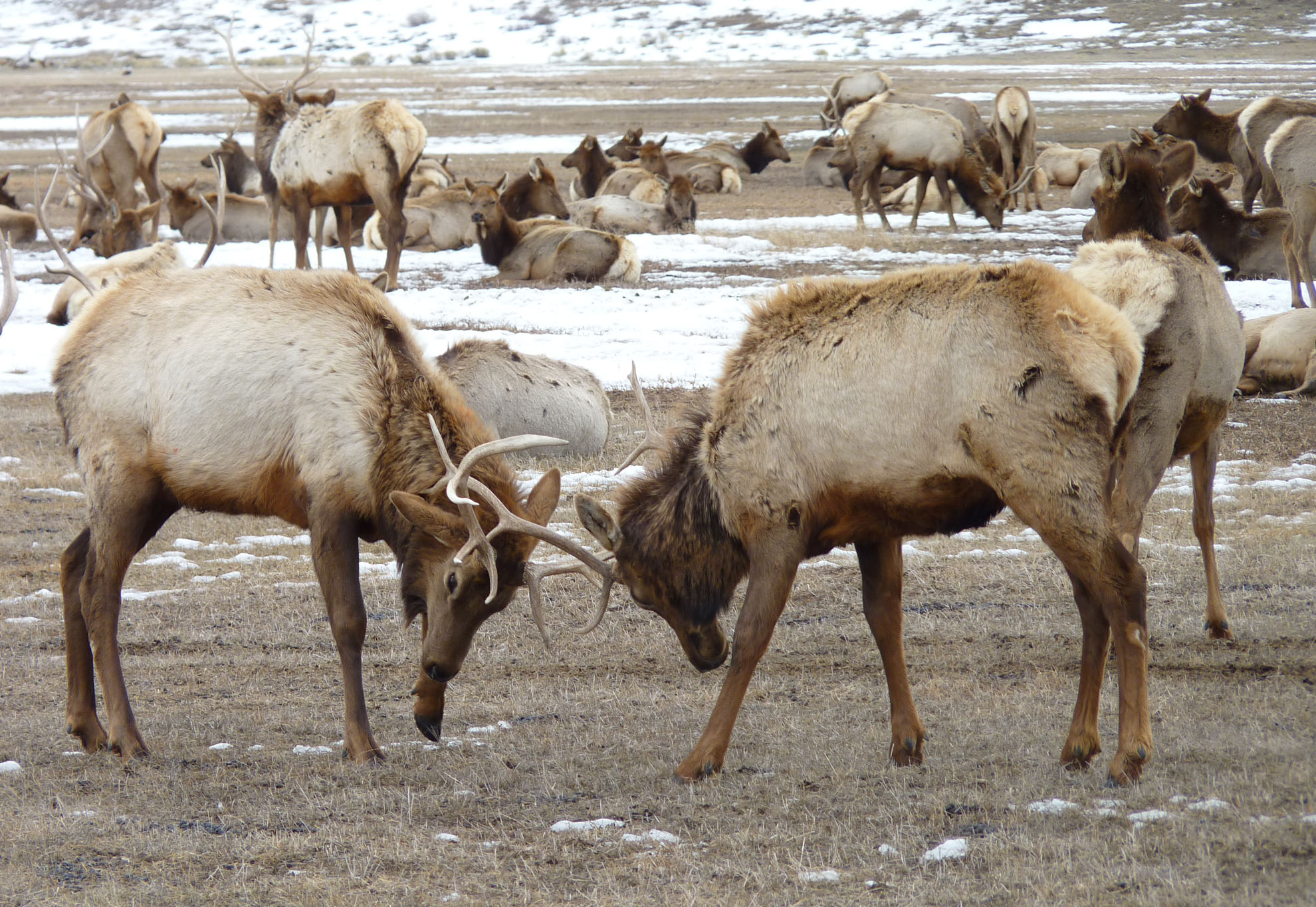 Twelve Days of Christmas, National Elk Refuge Style