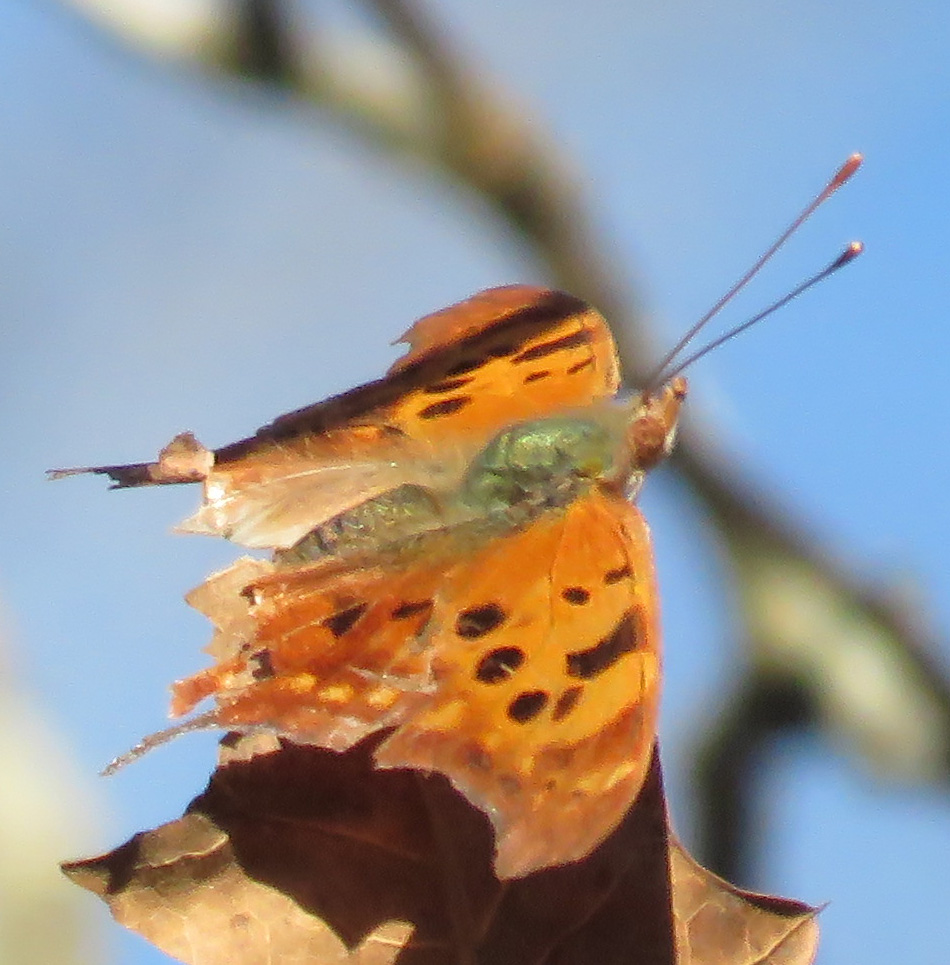What Butterfly Has Its Name Printed on Its Wing?