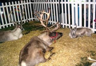 Reindeer chillin'