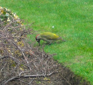 This chap here is a Green Woodpecker