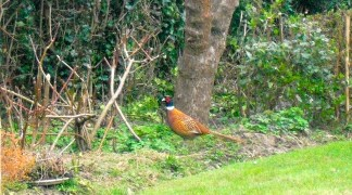 Pheasant chilling in the backyard