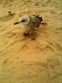 Recipient of crumbs seagull