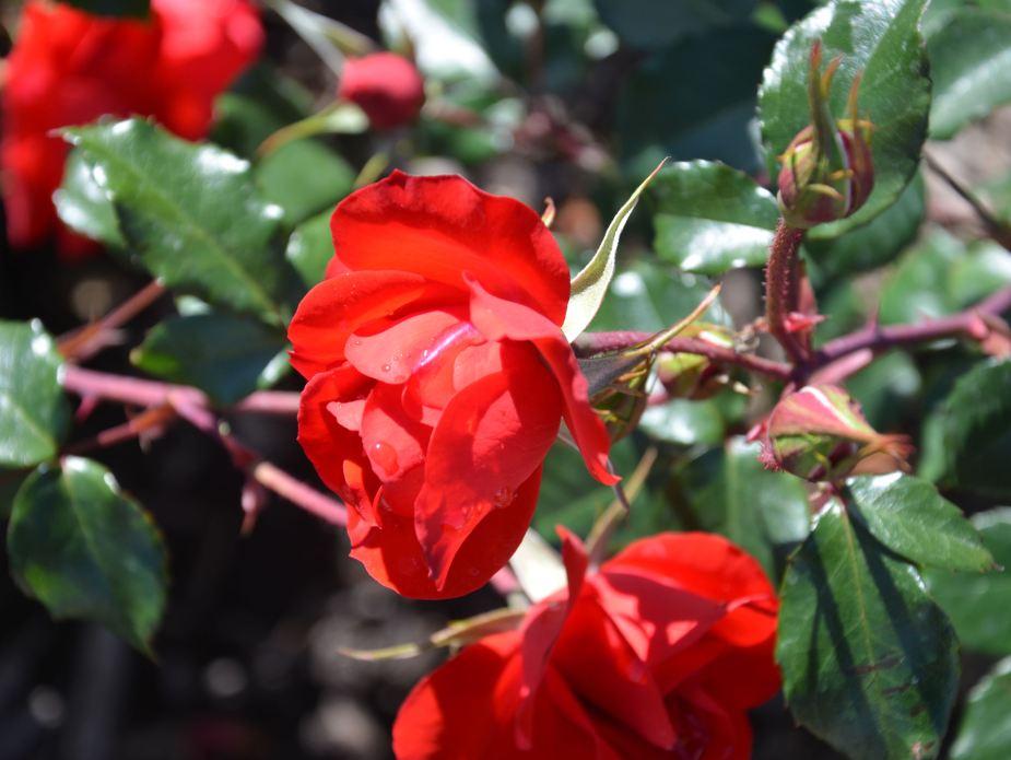 roses-rain