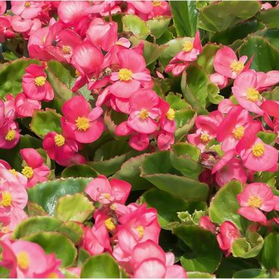 How to grow Begonias from Seed Indoors