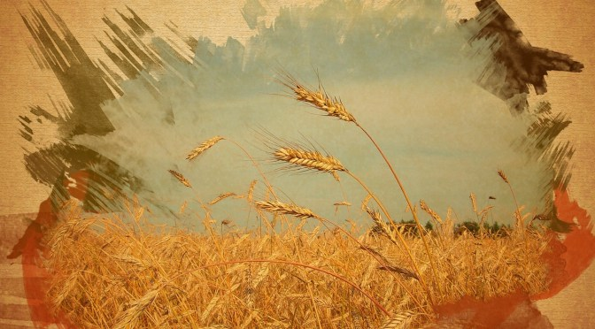 Dead Wheat Stalks