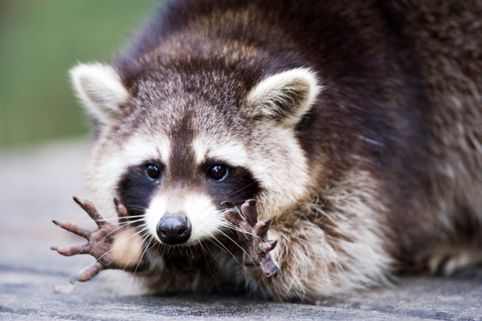 Animal Names In French — Raccoon