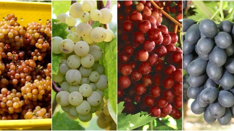 types of grapes to know photo