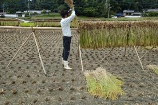 糸島で稲刈りとかけ干し(はざかけ)体験