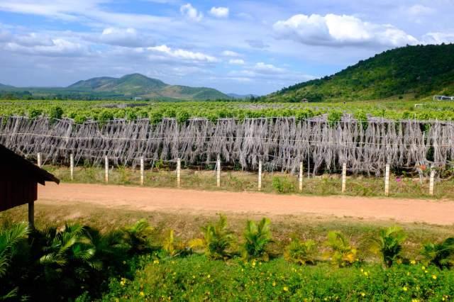 plantation poivre kampot