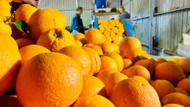 Expect to pay more for your citrus fruit this season, as labour shortage slows harvest