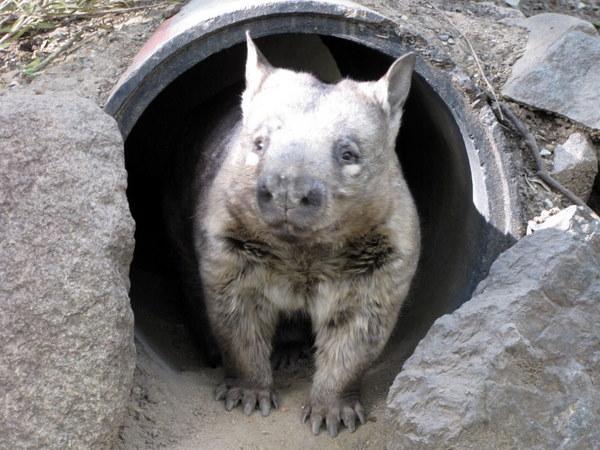 My new favorite animal: the wombat!!