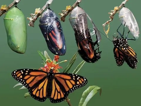 How caterpillars gruesomely transform into butterflies