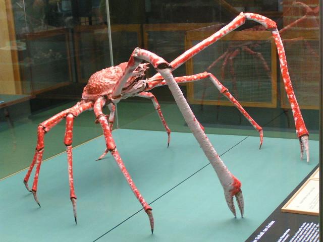 Japanische Riesenkrabbe Oder So Im Meeresmuseum