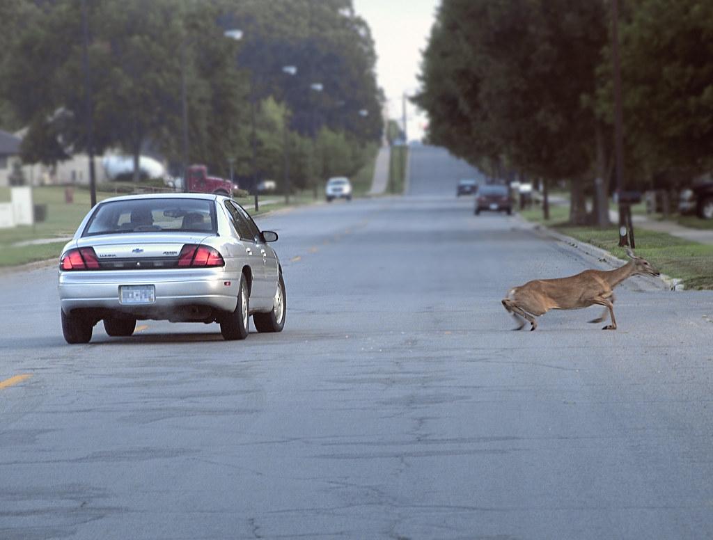 car vs deer this