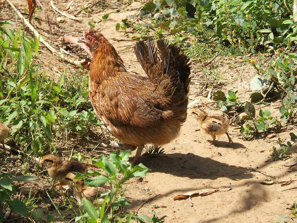 Hen and chick. Sirigu village Ghana.   Hen and chick. Sirigu…   Flickr