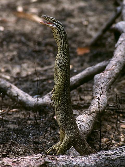 standing monitor lizard nalin
