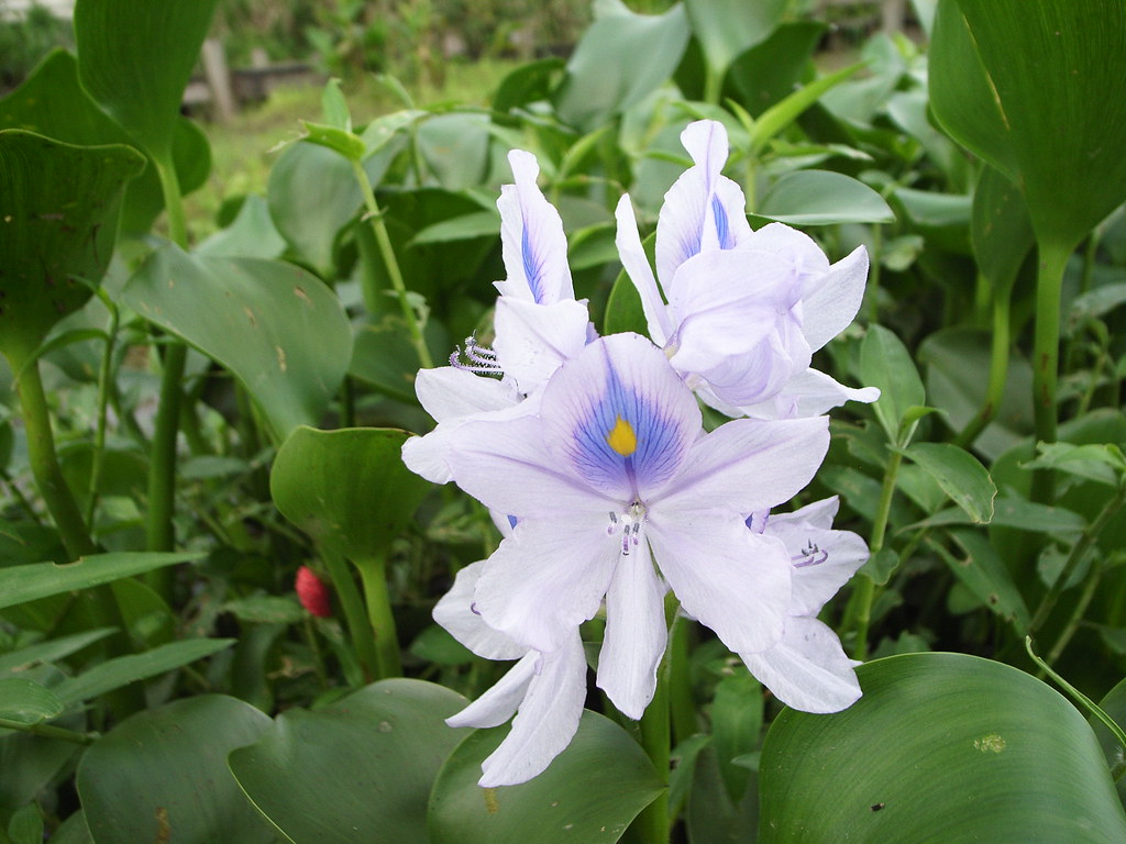 有誰知道這是什麼花嗎?布袋蓮 | bangdoll | Flickr