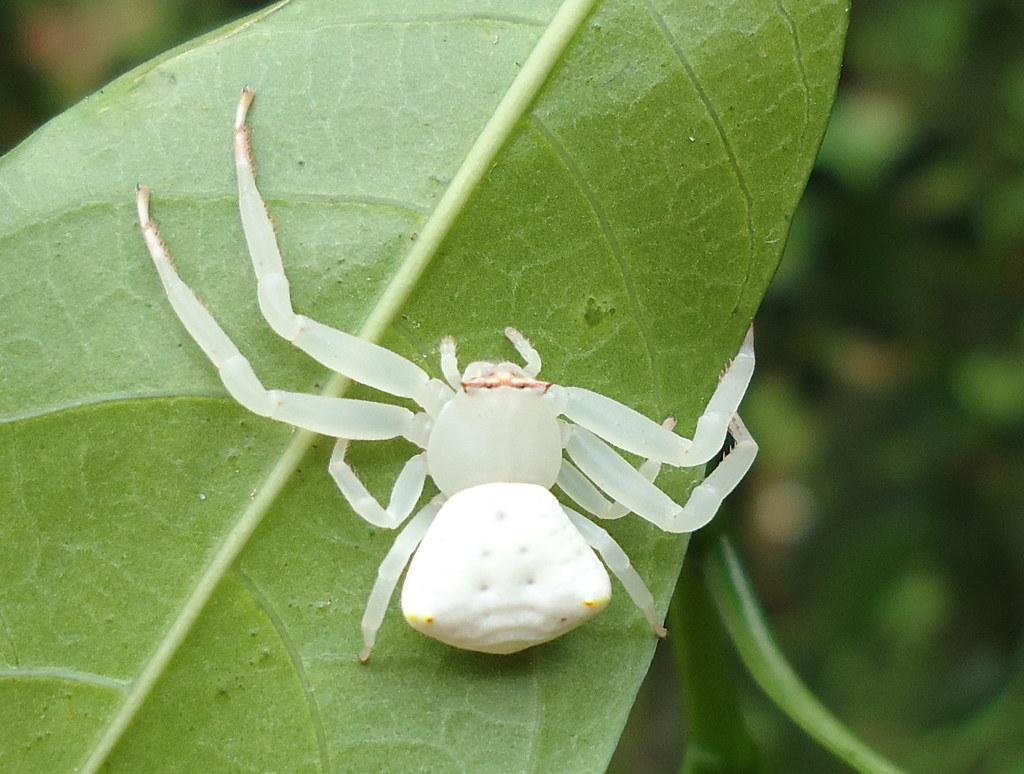 white spider   the spider was seen in the crape jasmine ...
