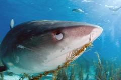 tiger shark at the