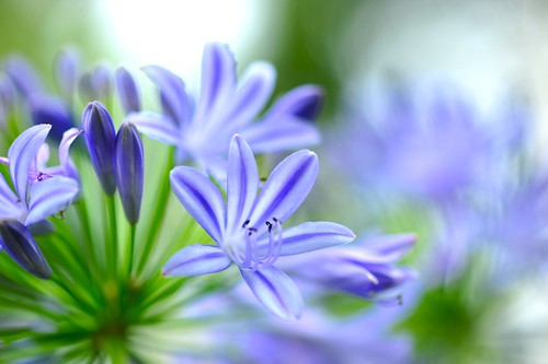 African Lily、Nile Lily 愛情花   百子蓮 學名:Agapanthus africanus 英文名…   Flickr