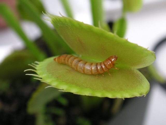 Meal worm in venus fly trap