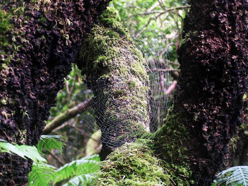 tela de araña sendero curvas de Taganana Macizo de Anaga isla de Tenerife Islas Canarias 119