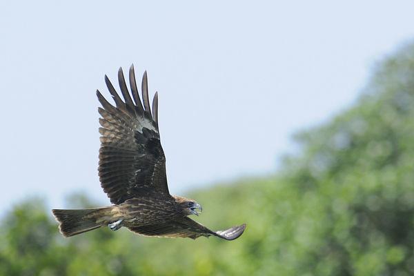 (使用請洽野鳥研究室)飛翔的黑鳶。圖片來源:屏科大野保所鳥類生態研究室   iwcraptor.pixnet.net/b…   Flickr