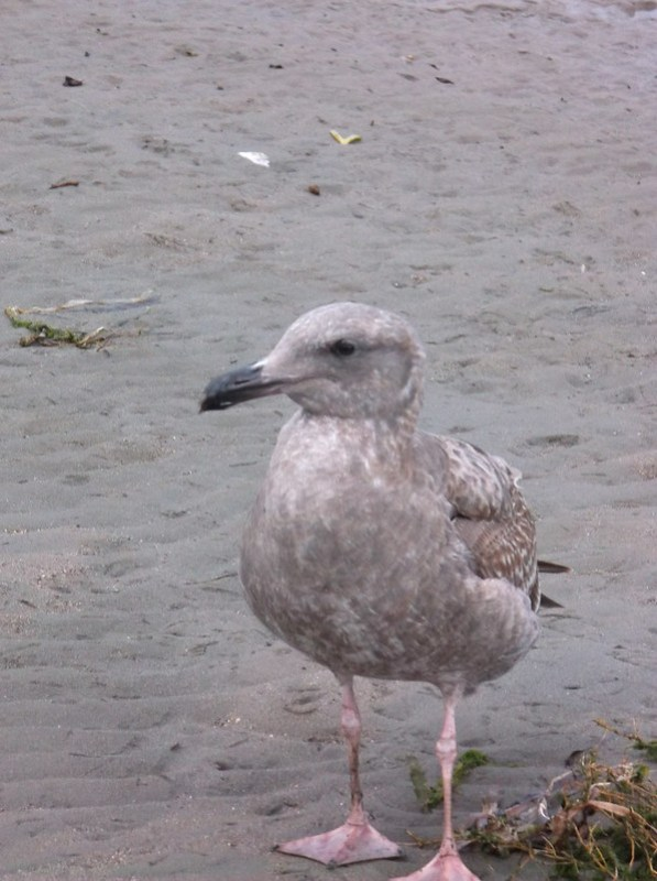 Juvenile California gull