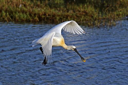白琵鷺1 | pi.chin | Flickr