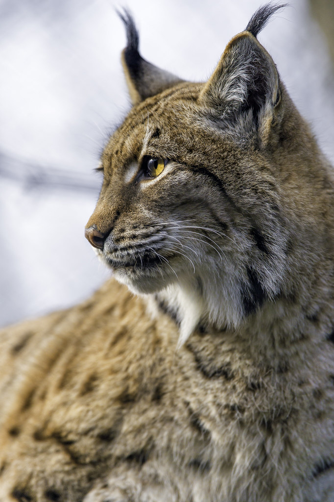 Profile Portrait Of A Lynx Like The Title Says The