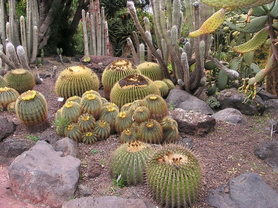 Cactus erizo Jardin Canario Las Palmas de Gran Canaria 063