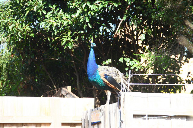 13S_ATA_DZ55 | 【澳洲墨爾本】墨爾本DAY5旅遊行程-墨爾本市區景點旅遊-企鵝島半日遊-菲立普島看企鵝 s… | Flickr