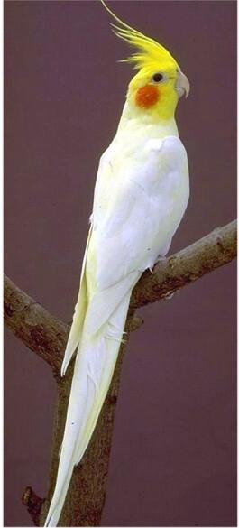 Live Birds For Sale Near Me : birds, Lutino, Cockatiel, Birds, Www.thefinc…, Flickr
