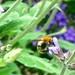 Macro bee in the sage