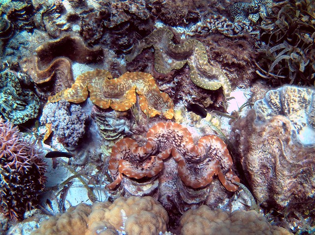We never did find this patch of giant clams again.  They're not far below low tide toward the north of the beach.  It's amazing they're so close since locals like to eat this endangered species. by bryandkeith on flickr