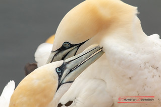 Basstölpel / Northern Gannet (Morus bassanus)