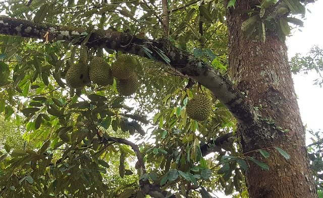 Durian growing on the tree by bryandkeith on flickr