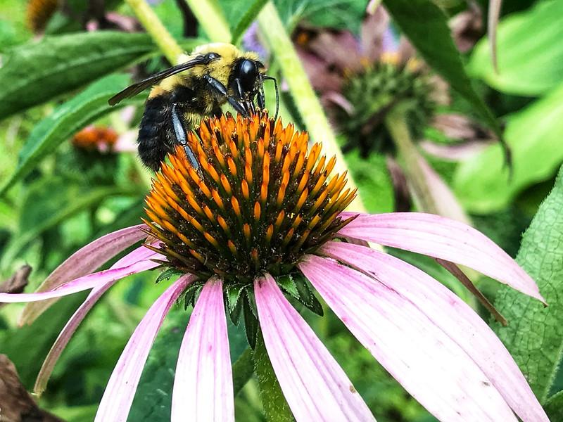 Honeybee?