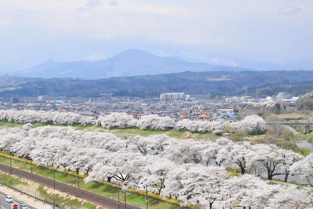 1000 Riverside Sakura Trees Blossom