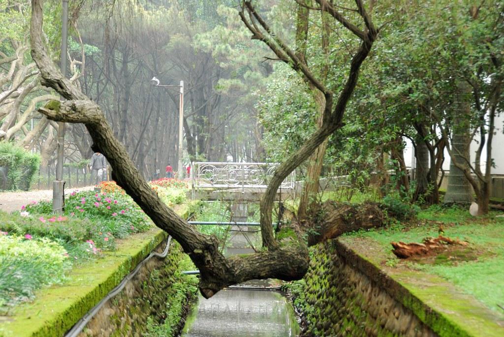 柳樹 | 每次想到柳樹我就會想起這顆柳樹 | 光頭 三五 | Flickr