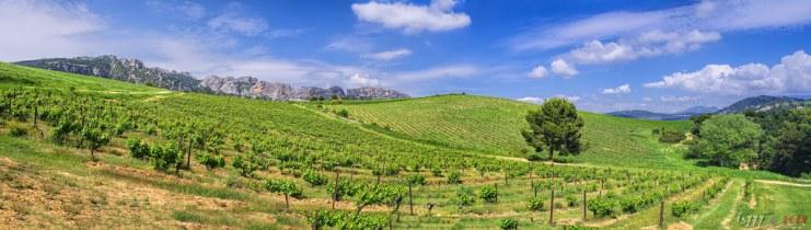 Vineyard Pano