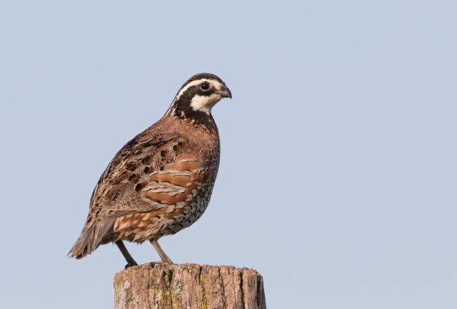 Northern Bobwhite, Benton Co., IN