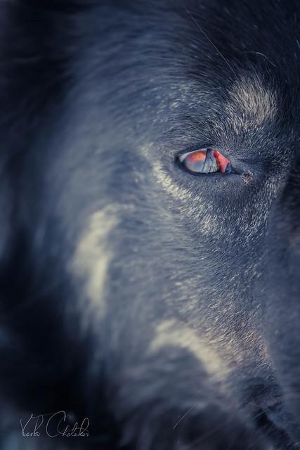 Watching You – A Balkan Mountain Dog